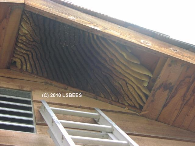 Removing an established honeybee colony from the soffit