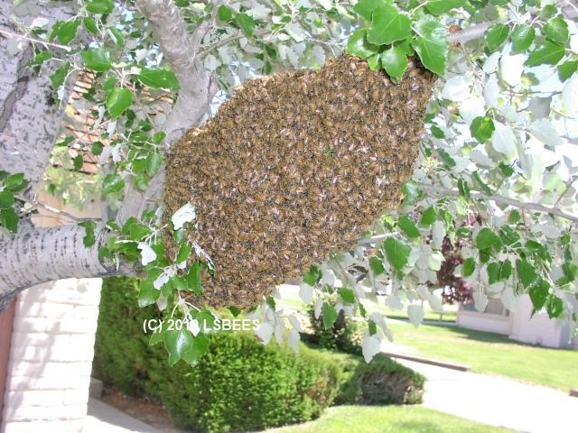 Honeybee Swarm in Tree